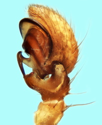 Xysticus nubilus - Palpe