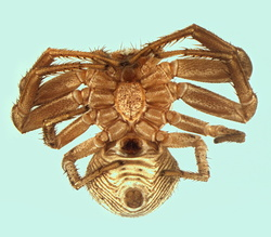 Xysticus macedonicus