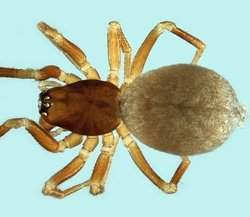 Thyreosthenius parasiticus