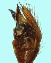 Steatoda albomaculata - Palpe
