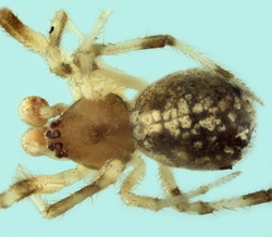 Theridion pinicola