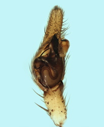 Philodromus sp - Palpe