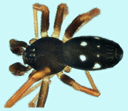 Coscinida leviorum