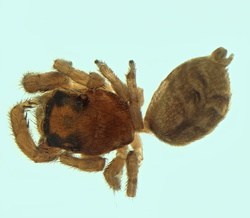Dendryphantes sp