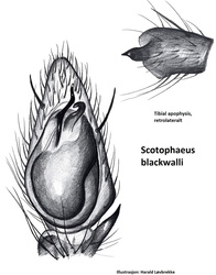 Scotophaeus blackwalli - Palpe