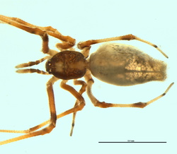 Neospintharus syriacus