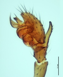 Dactylopisthes digiticeps - Palpe