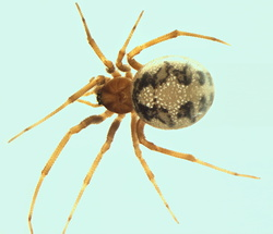 Steatoda trianguloides