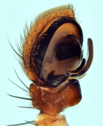 Xysticus thessalicoides - Palpe