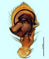 Xysticus macedonicus - Palpe