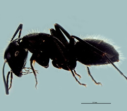 Camponotus vagus ouvr.
