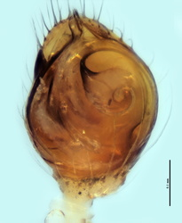 Theridion genistae - Palpe