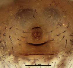 Theridion genistae - Epigyne