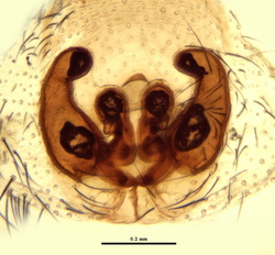 Scotophaeus blackwalli - Epigyne