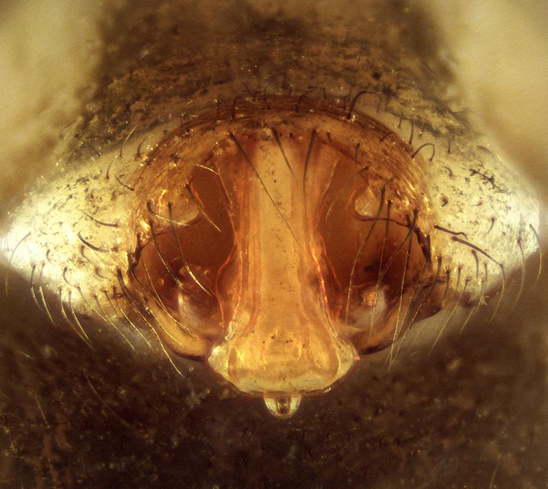 150321006 epi 01m Lepthyphantes leprosus F.jpg