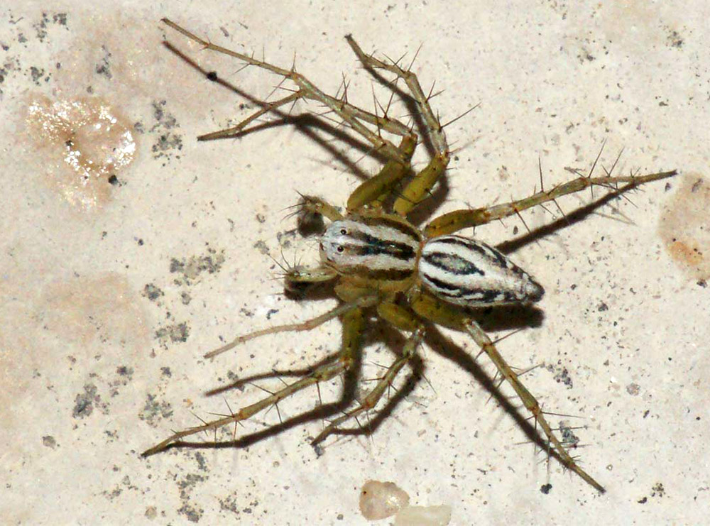 Oxyopes lineatus.jpg